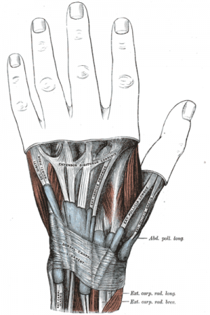 Skeletal structure of hand