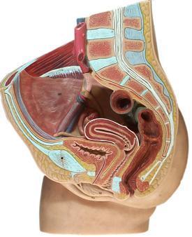 diagram of female pelvic cavity